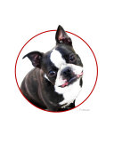 Cute as a Button Boston Terrier