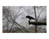 Pensive Crow