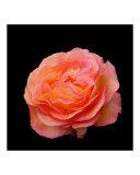 orange-pink rose samba