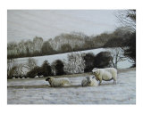Sheep in frost
