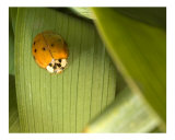 Lady bug on hemerocalis