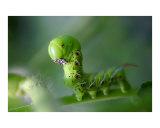 Cornworm