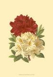 Blooming Azalea II