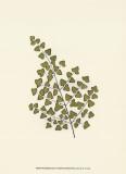 Woodland Ferns II