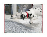 Dalmation Resting on Wall in Santorini