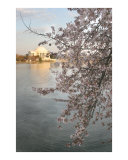 Cherry Blossom Jefferson Memorial no-32