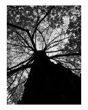 Vandy Tree  Fall (Black and White)