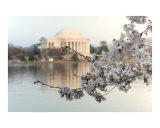 Cherry Blossom with Jefferson Memorial no-100