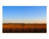 Corn Field South of Pierce  Nebraska