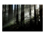 Redwood trees forest & sunlight 8