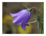 Flower Bell 1