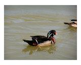 121106 Male Wood Duck