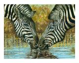 Burchell's Zebra drinking water  Kenya