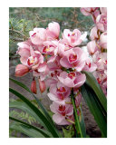 Pink Orchid Cascade