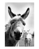 Straad Donkeys