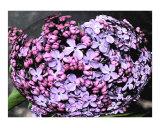 ball of lilacs