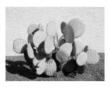 Prickley Pear Cactus