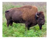 American Bison (Buffalo) Grazing