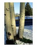 """White Birch"" - Aspen  Colorado"