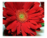 Big Red Gerbera Daisy