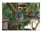 kuala bear sleeping in a tree