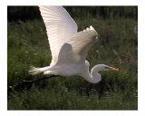 284 Flying Egret