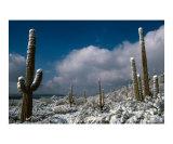 Snowstorm on Cacti