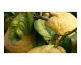 LAURETTA CARDONE Limoni grandi
