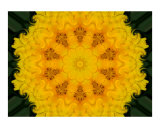 Yellow Carnation Mandala