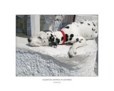 Dalmation Sleeping in Santorini  by Matt Rudin