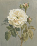 Heirloom White Rose