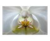 Orchid Intense