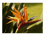 Maui Bird of Paradise