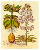 Lilium Montanum I