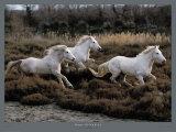 Equus  Camargue  France