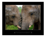 Affectionate African Elephants
