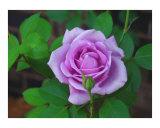 A Purple Rose