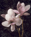 Pink Magnolias I
