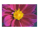 Fuschia Daisy Close-Up
