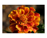 Marigold with Morning Dew