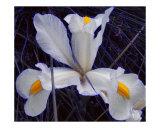 Iced Iris