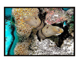 Yellow spotted Morays
