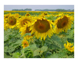 Row of Sunflowers