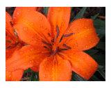Orange Lily II