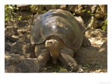 Lonesome George Last Surviver of the Race of the Galapagos Tortoise  Pinta Island  Galapagos