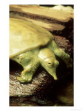 Gulf Coast Smooth Softshell Turtle  ND
