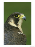 Peregrine Falcon  Falco Peregrinus Close-up Portrait of Female Captive