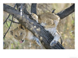 African Lion  Young Cub Climbing Tree  Southern Africa