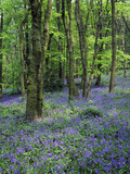 Bluebells in Deciduous Woodland  UK