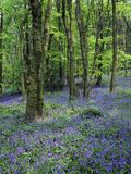 Bluebells in Deciduous Woodland  UK